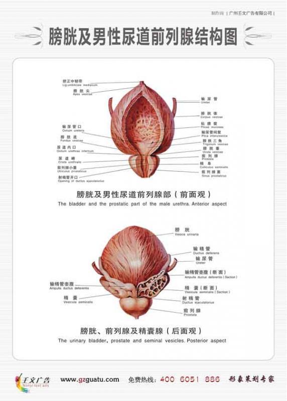 男科医生图片_男性尿道前列腺部结构图