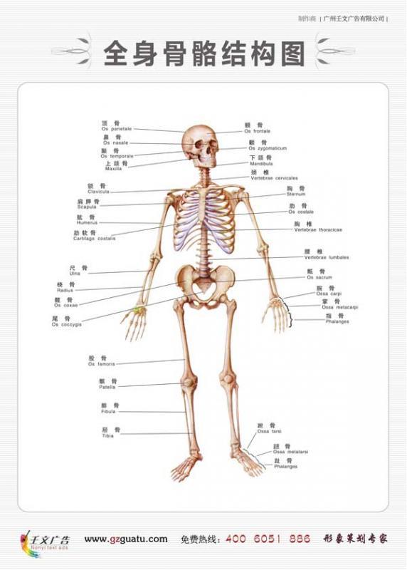 全身骨骼结构图