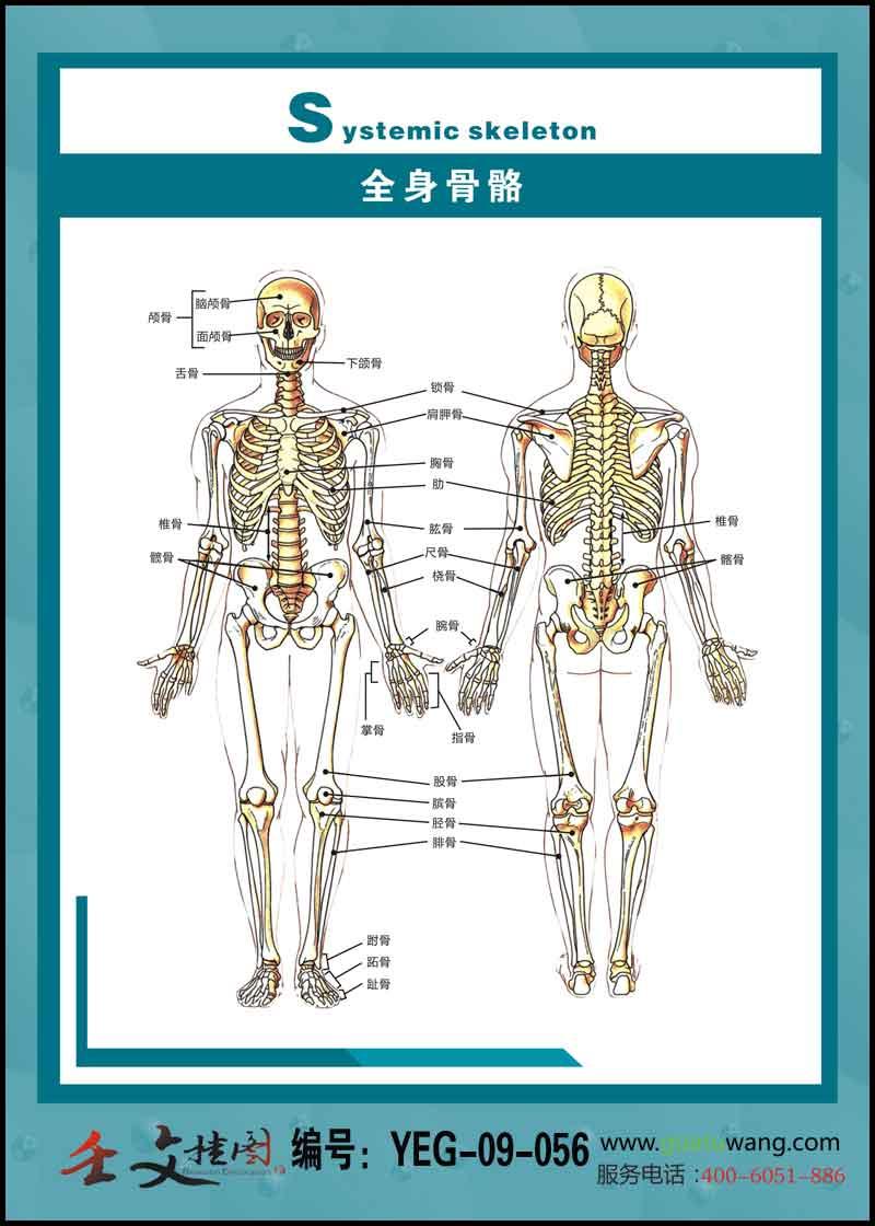 人体骨骼内脏示意图_医院骨科宣传画_人体骨骼结构示意图_医院文化建设形象宣传标语 ...